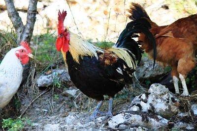 le galline di Francesca